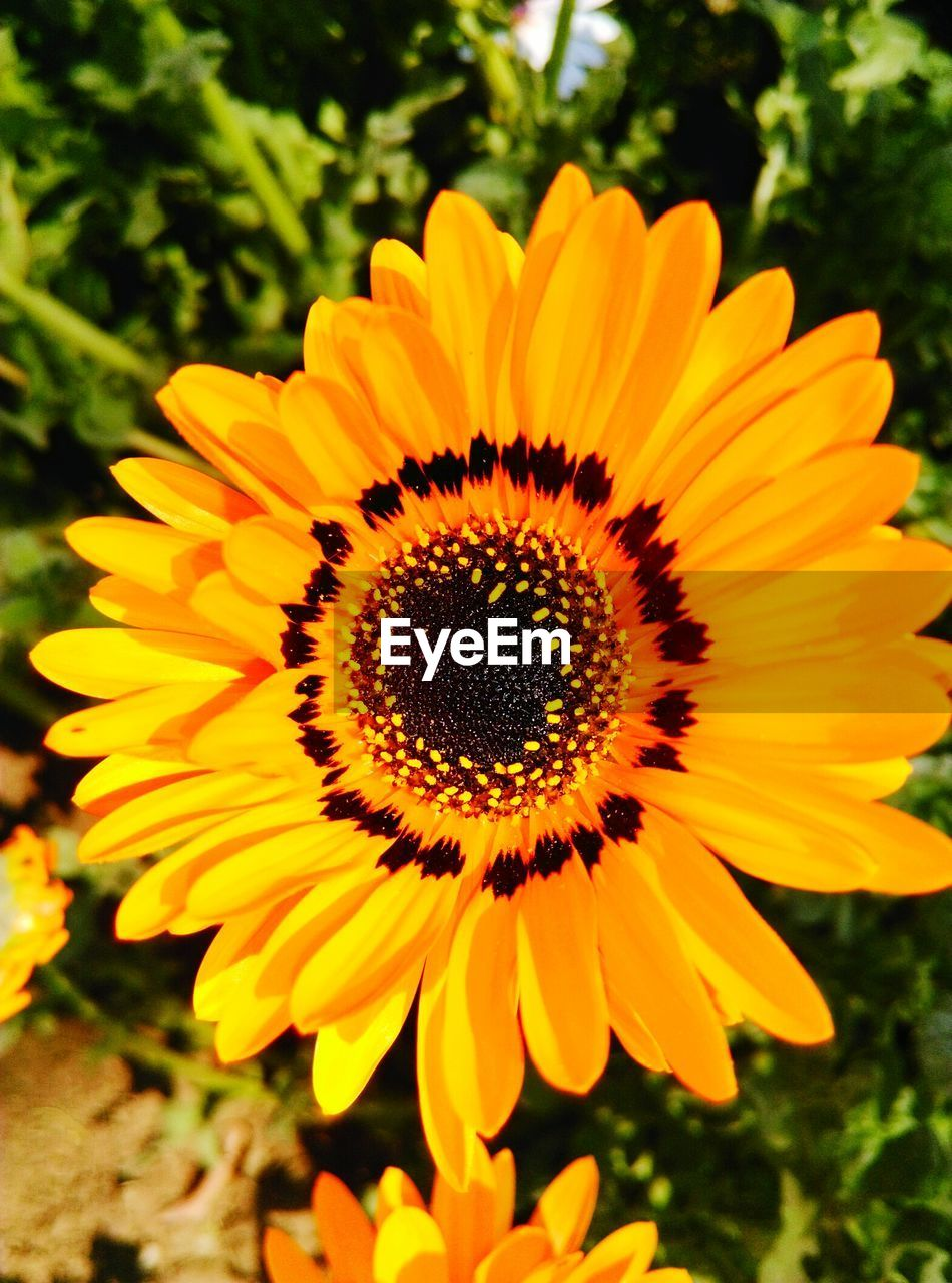 flower, fragility, petal, flower head, yellow, beauty in nature, nature, growth, freshness, pollen, plant, close-up, gazania, no people, outdoors, sunflower, day, blooming