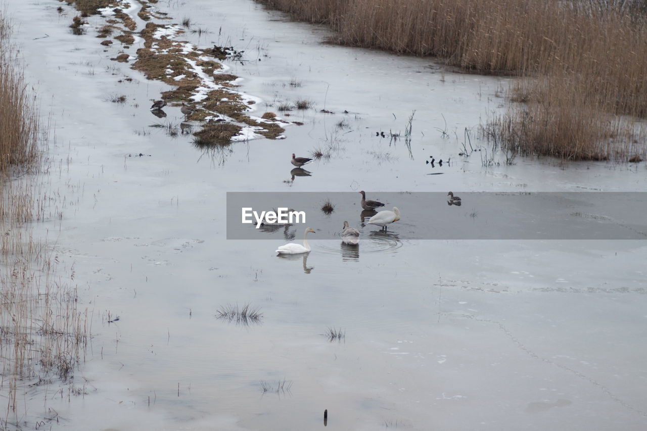 water, animals in the wild, bird, group of animals, lake, animal wildlife, animal themes, vertebrate, animal, swimming, winter, nature, cold temperature, duck, poultry, reflection, beauty in nature, day, no people, ice, floating on water, flock of birds, cygnet