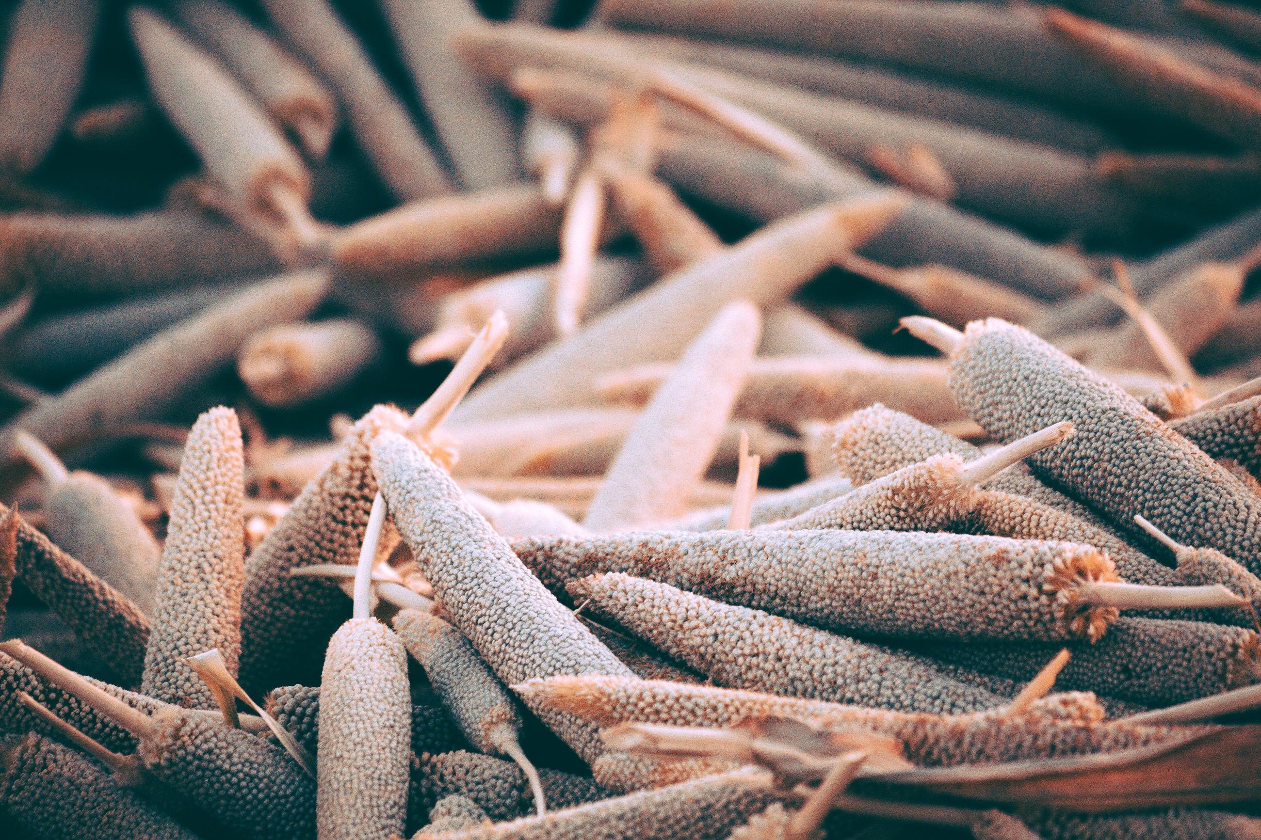 Full frame shot of dried millet crops