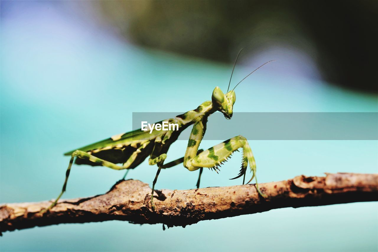 animal wildlife, animal themes, animals in the wild, insect, invertebrate, animal, one animal, close-up, focus on foreground, praying mantis, nature, day, no people, animal antenna, animal body part, outdoors, selective focus, plant, sunlight, blue, animal eye