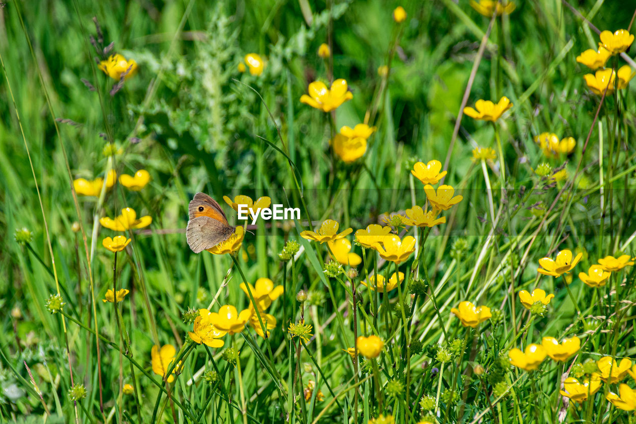 Meadow brown butterfly, maniola jurtina, collecting pollen from vibrant yellow buttercup flowers