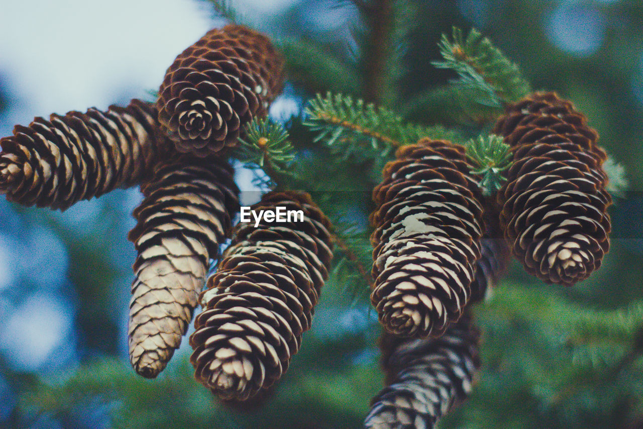pinecone Close-up Focus On Foreground No People Plant Nature Day Beauty In Nature Growth Animal Themes Animal Natural Pattern Outdoors Green Color Animal Wildlife Group Of Animals Tree Selective Focus Animals In The Wild Animal Markings Pine Cone My Best Photo