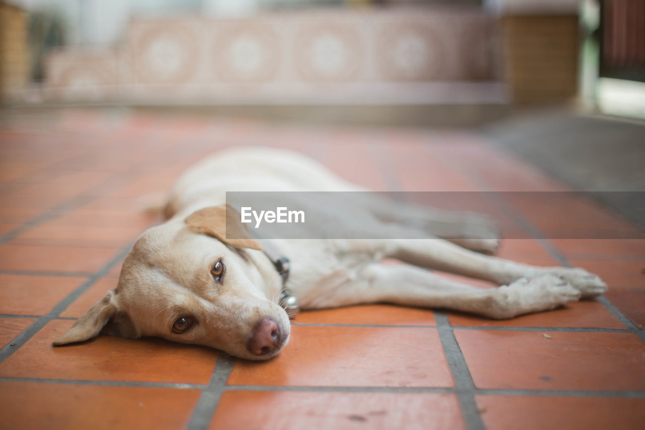canine, dog, domestic, mammal, pets, one animal, domestic animals, animal themes, animal, relaxation, lying down, flooring, vertebrate, resting, focus on foreground, indoors, looking at camera, no people, portrait, close-up, tiled floor