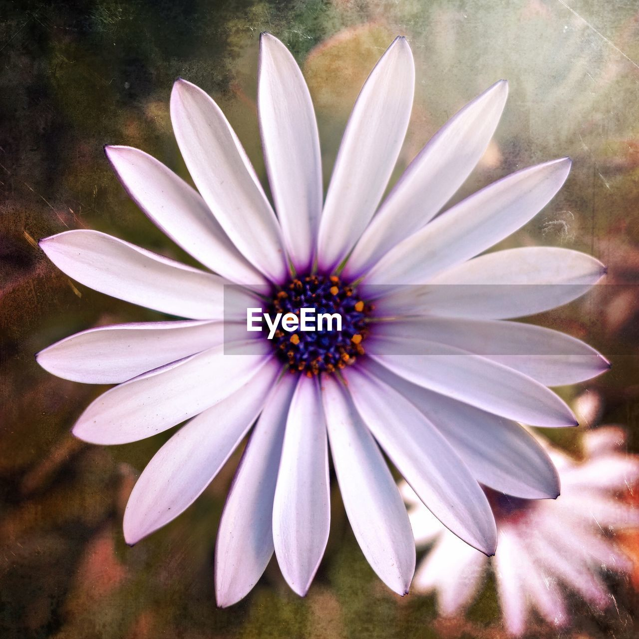 flower, petal, flower head, beauty in nature, nature, fragility, blooming, osteospermum, freshness, growth, day, plant, outdoors, no people, close-up