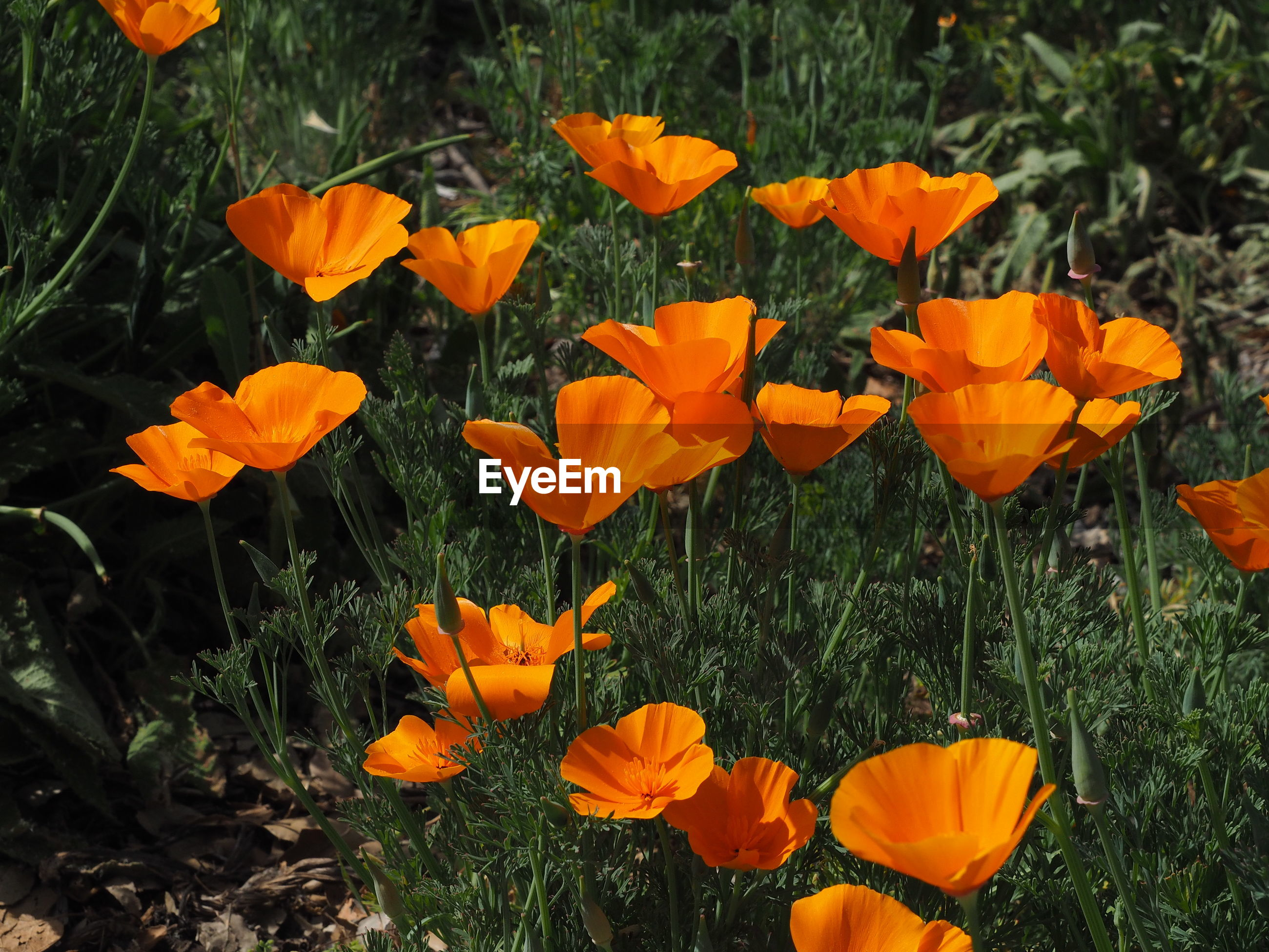 CLOSE-UP OF ORANGE POPPY FLOWERS GROWING IN FIELD