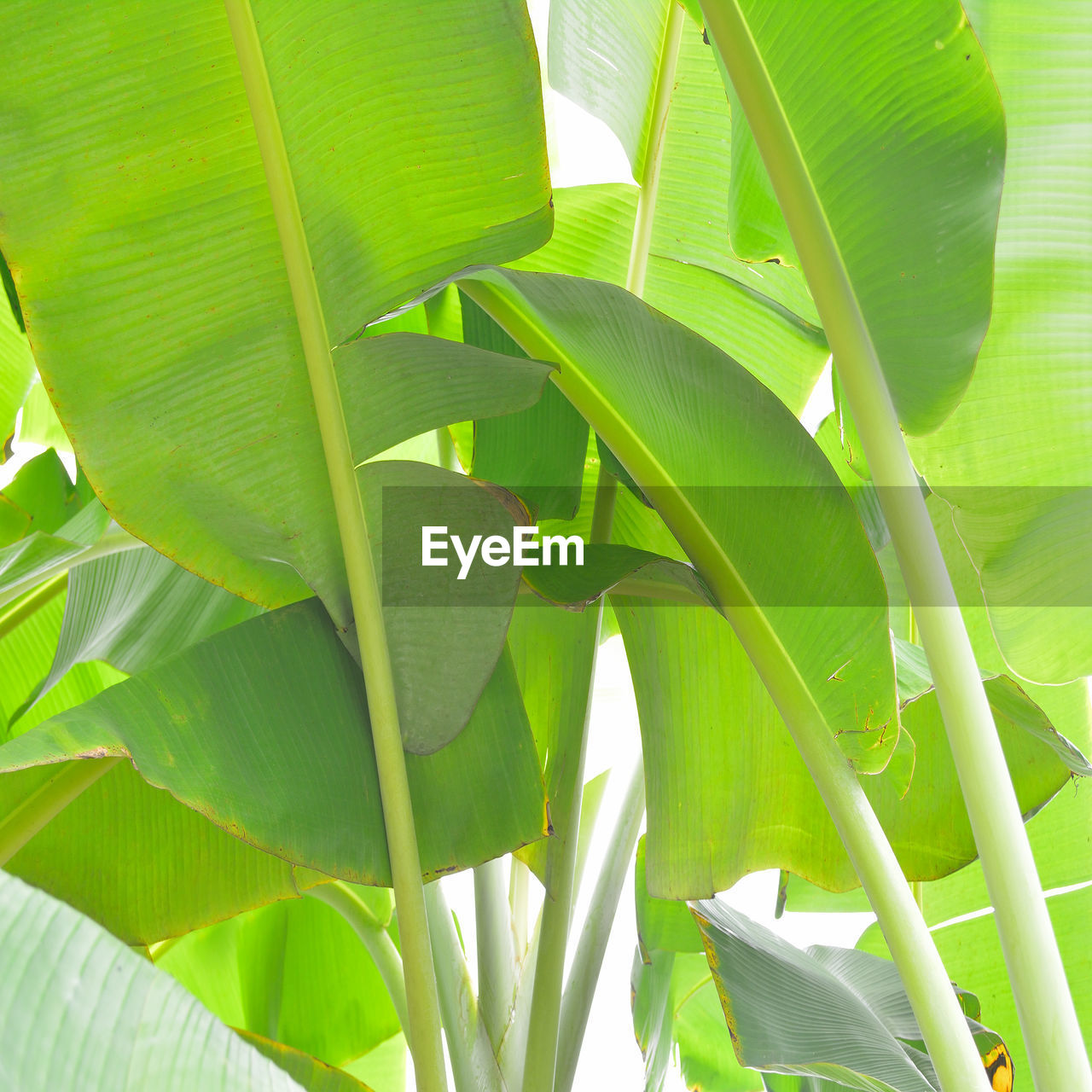 leaf, green color, growth, nature, plant, banana tree, banana leaf, no people, day, outdoors, beauty in nature, close-up, freshness