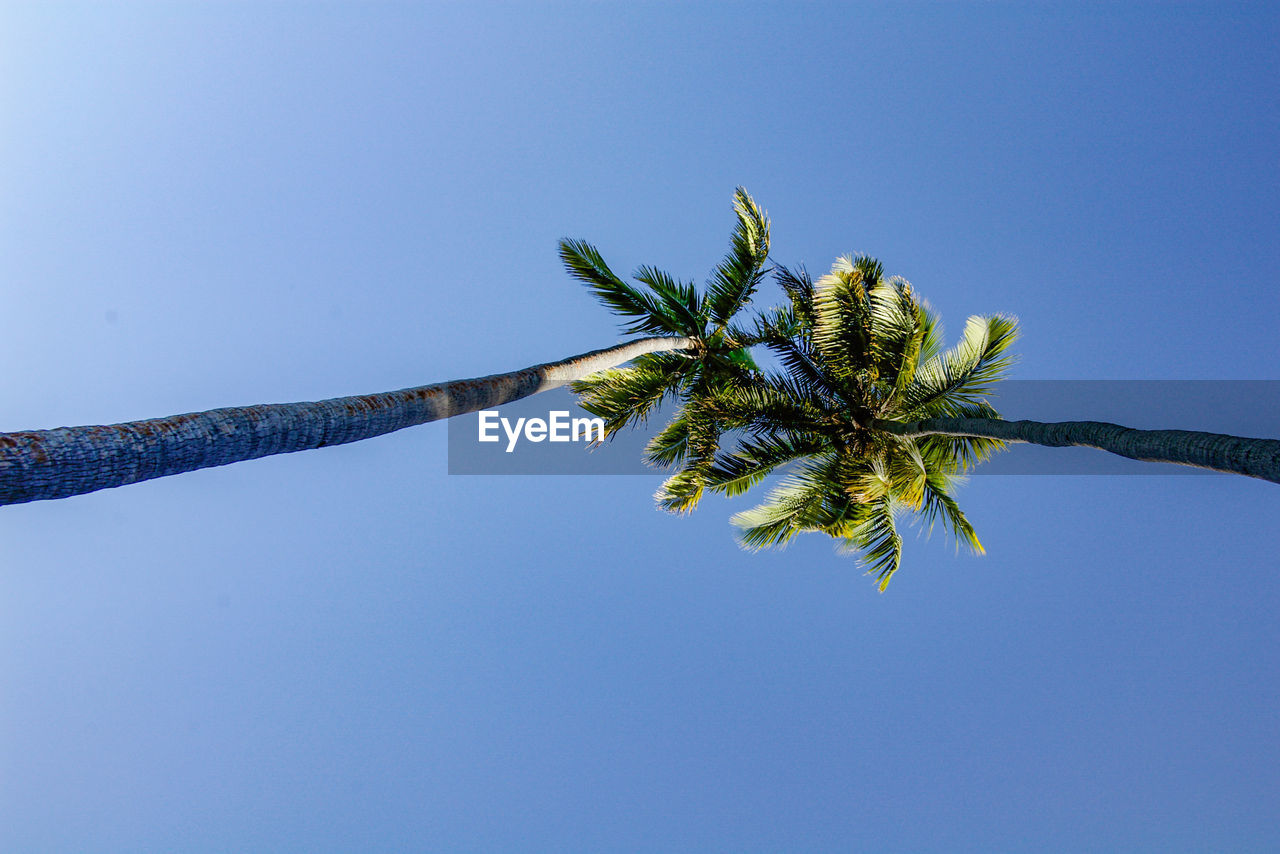 plant, sky, tree, clear sky, growth, palm tree, nature, blue, day, low angle view, tropical climate, copy space, no people, outdoors, beauty in nature, tree trunk, trunk, tranquility, leaf, tall - high, coconut palm tree