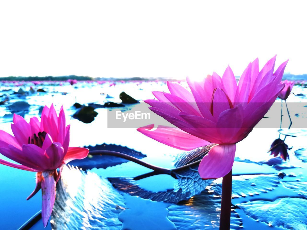 flowering plant, flower, vulnerability, freshness, fragility, plant, beauty in nature, petal, close-up, flower head, inflorescence, pink color, growth, water, nature, no people, water lily, leaf, day, pollen, lotus water lily, purple