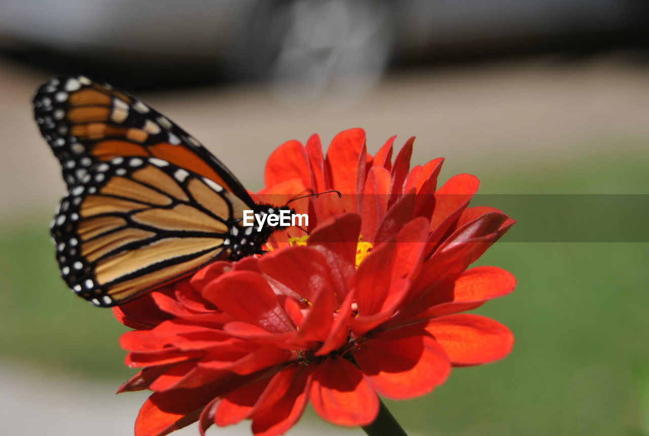 Close-up of butterfly on red zinnia