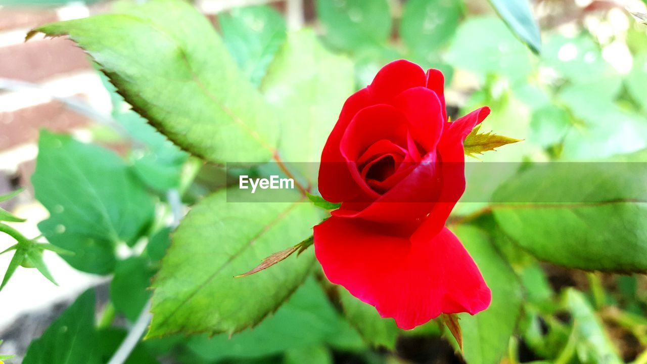 red, flower, petal, nature, green color, fragility, beauty in nature, growth, leaf, flower head, freshness, no people, close-up, plant, day, rose - flower, outdoors, blooming