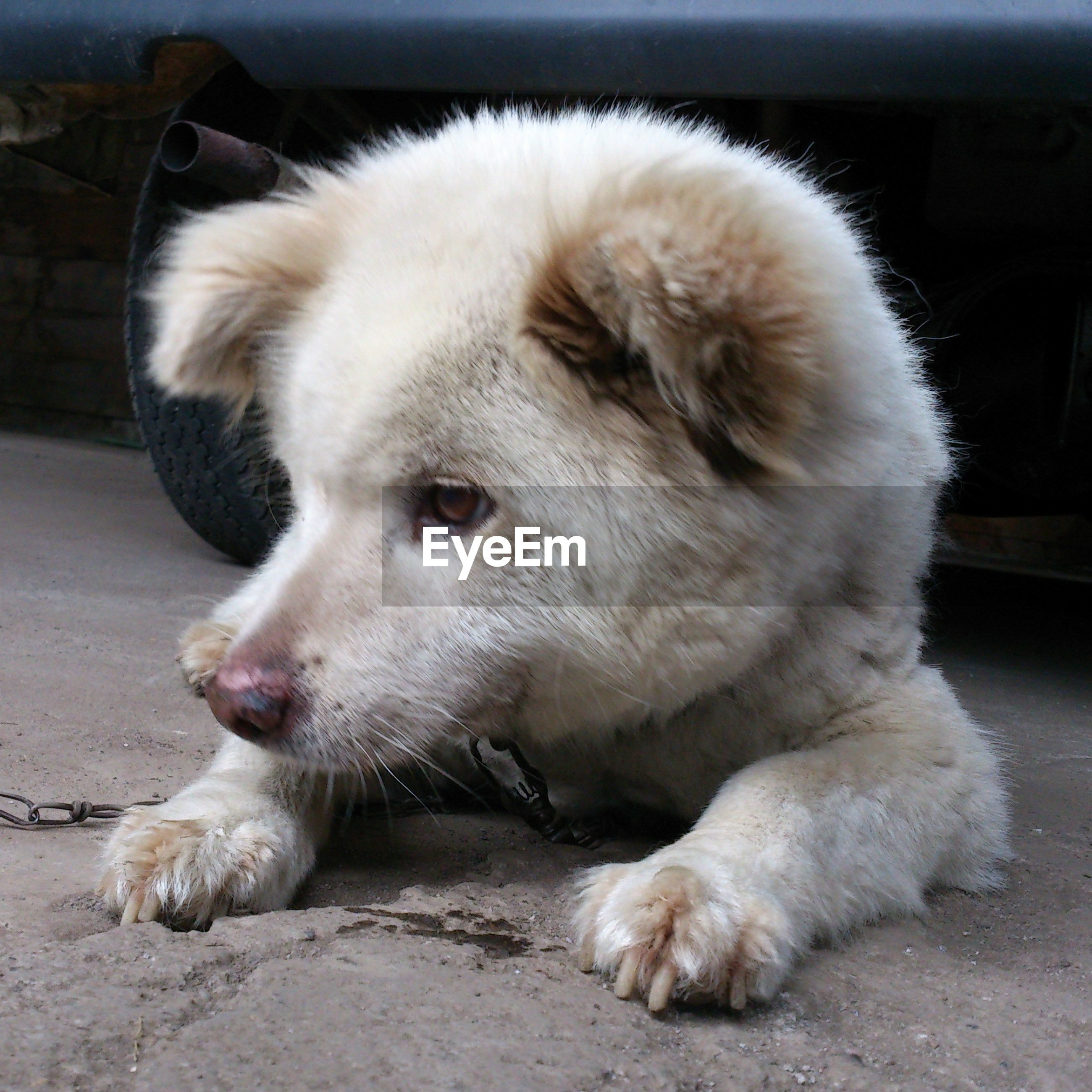 animal themes, one animal, mammal, domestic animals, pets, dog, relaxation, close-up, animal hair, lying down, animal head, sitting, focus on foreground, sleeping, resting, zoology, looking away, full length, indoors, street