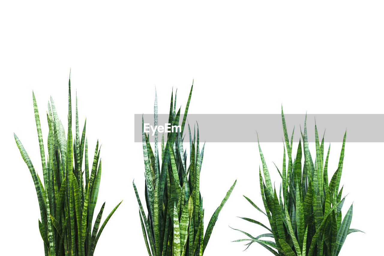 growth, plant, white background, green color, studio shot, close-up, no people, nature, beauty in nature, leaf, plant part, freshness, day, clear sky, sky, copy space, indoors, focus on foreground, cut out, bamboo - plant