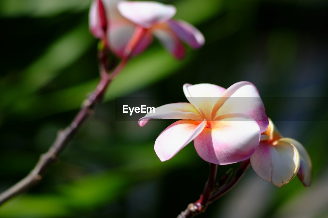 flower, petal, growth, flower head, fragility, beauty in nature, nature, freshness, blooming, plant, focus on foreground, day, close-up, outdoors, no people, frangipani, periwinkle