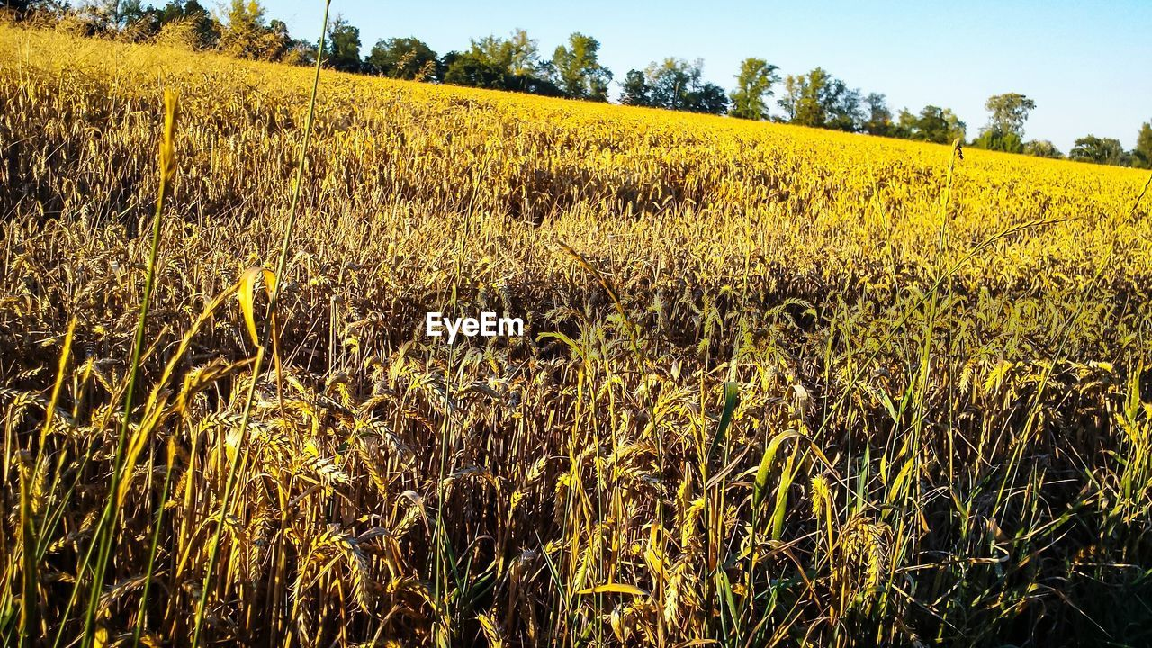 agriculture, field, farm, crop, growth, nature, landscape, yellow, rural scene, cultivated land, tranquil scene, tranquility, beauty in nature, outdoors, scenics, plant, day, cereal plant, no people, wheat, tree, sky