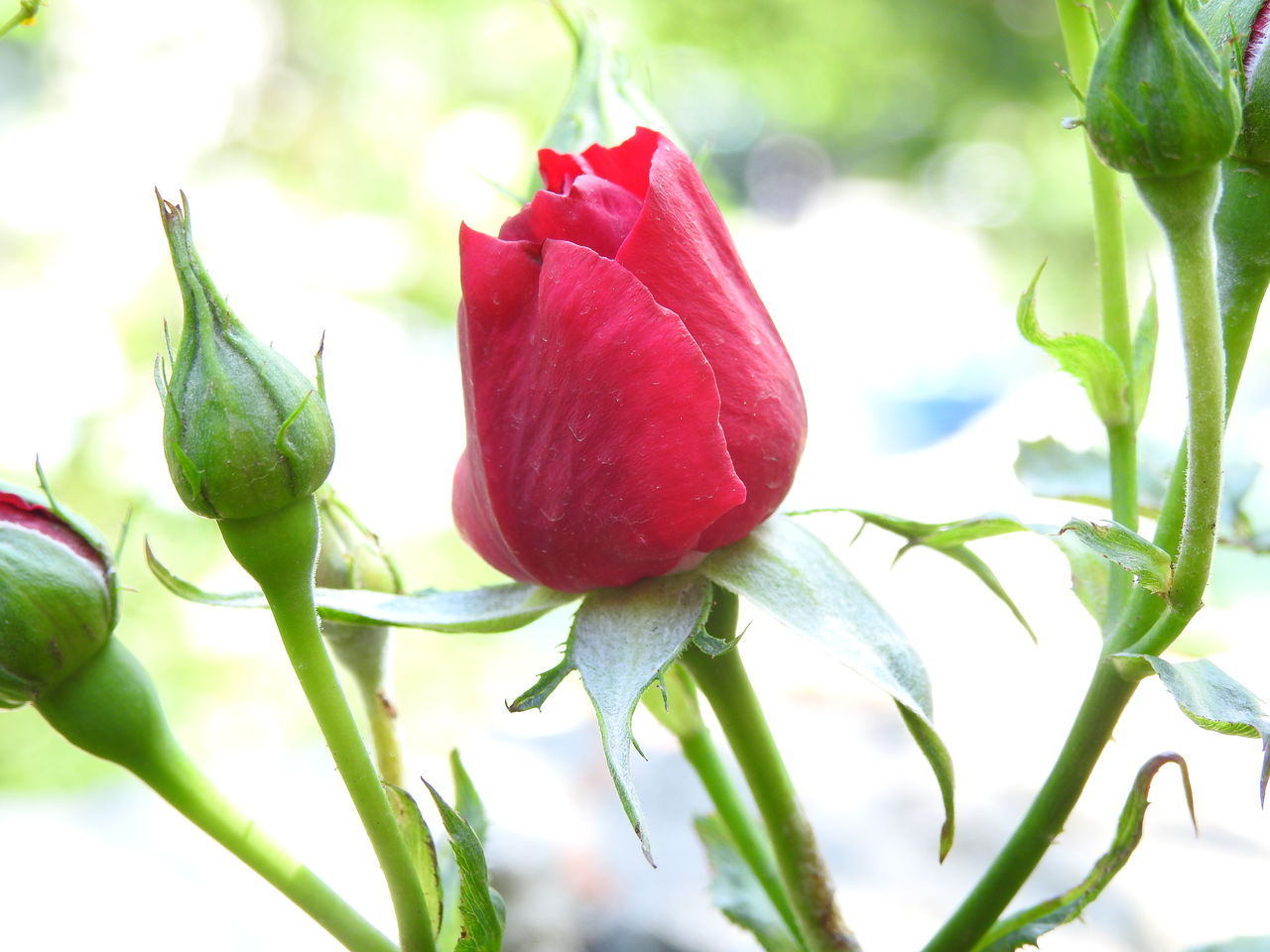 flower, nature, leaf, beauty in nature, freshness, plant, petal, fragility, red, no people, green color, growth, close-up, day, flower head, outdoors
