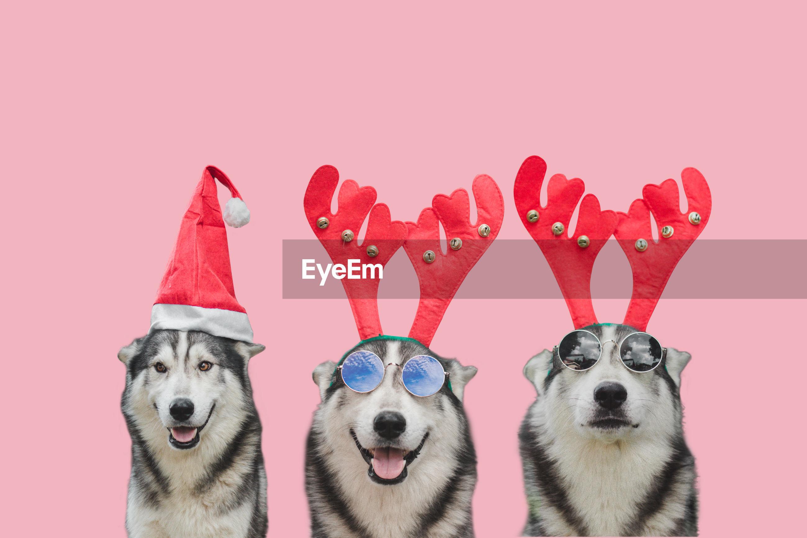 Siberian dog wearing glasses.it make funny face.dog on isolated white background.happy chrismas day.