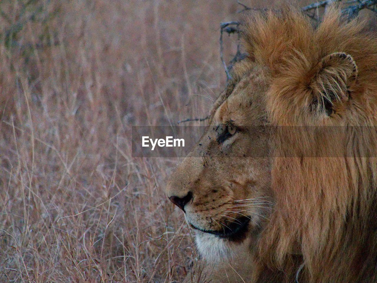 animal themes, animal, animal wildlife, mammal, lion - feline, one animal, animals in the wild, feline, cat, vertebrate, looking away, no people, looking, close-up, animal body part, day, pets, animal head, brown, undomesticated cat, whisker