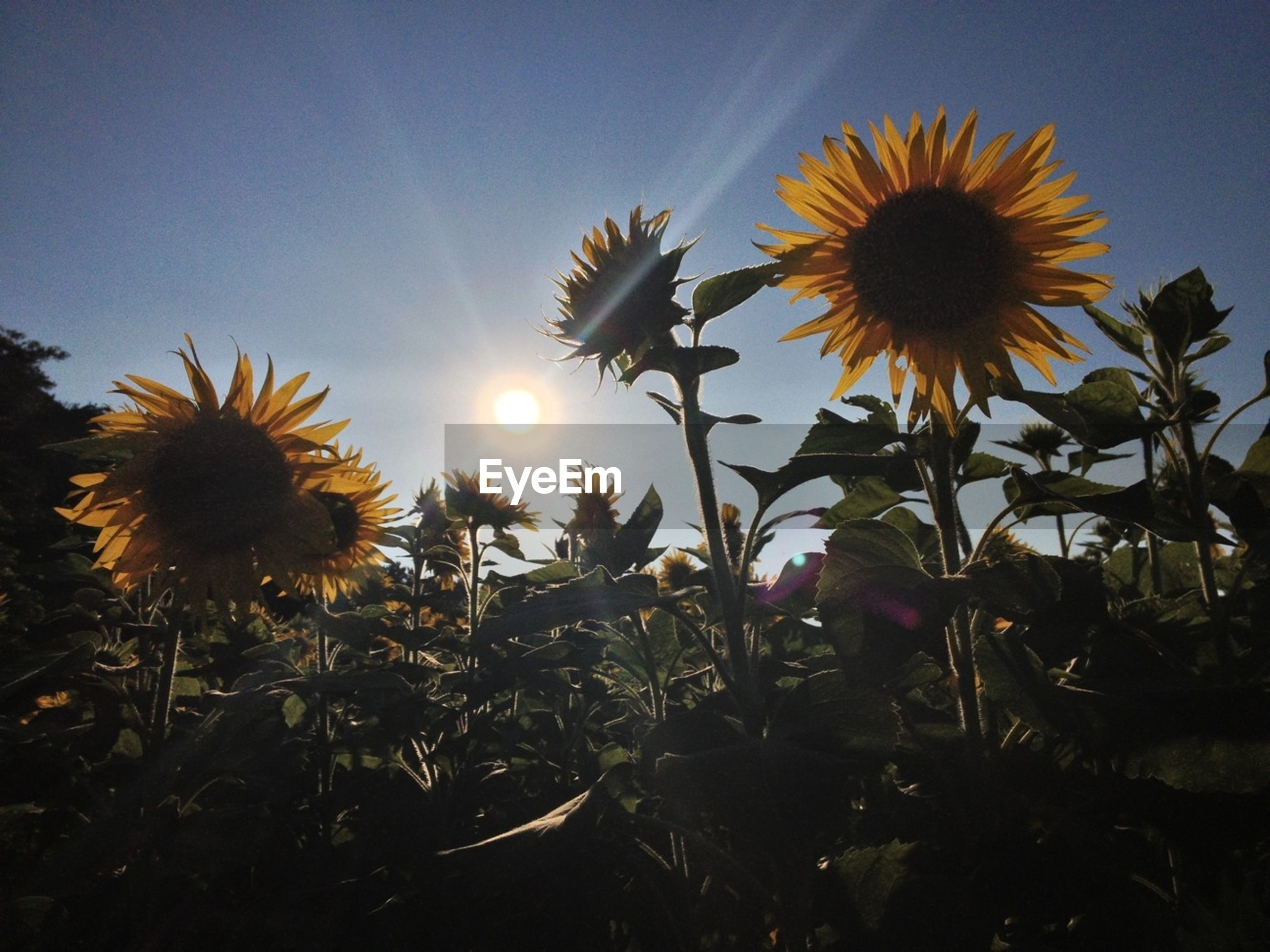 flower, growth, sun, beauty in nature, sunlight, freshness, plant, nature, clear sky, low angle view, fragility, sunflower, sunbeam, sky, flower head, yellow, field, lens flare, blooming, close-up