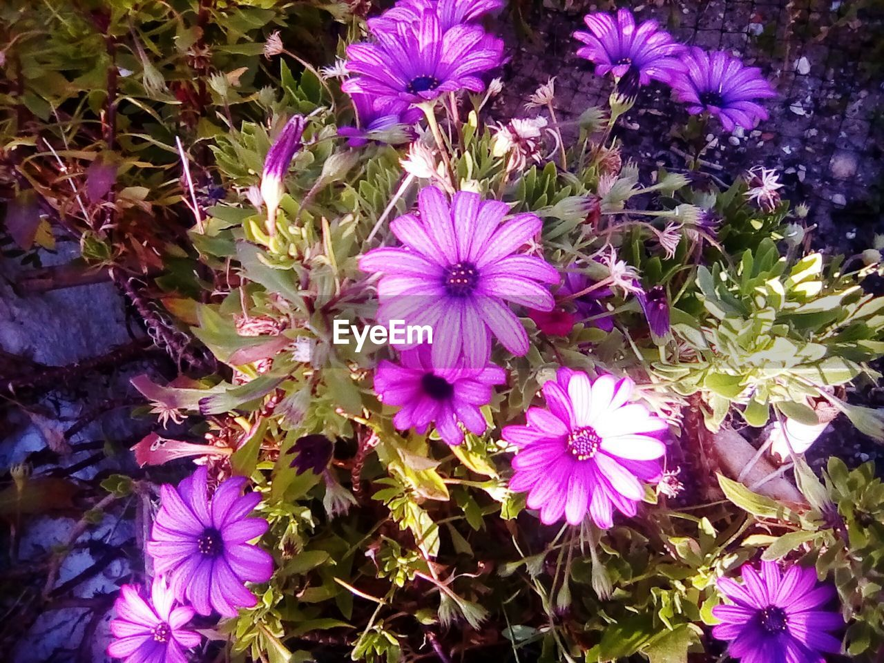 flower, purple, growth, nature, petal, plant, beauty in nature, fragility, no people, blooming, freshness, outdoors, flower head, day, osteospermum