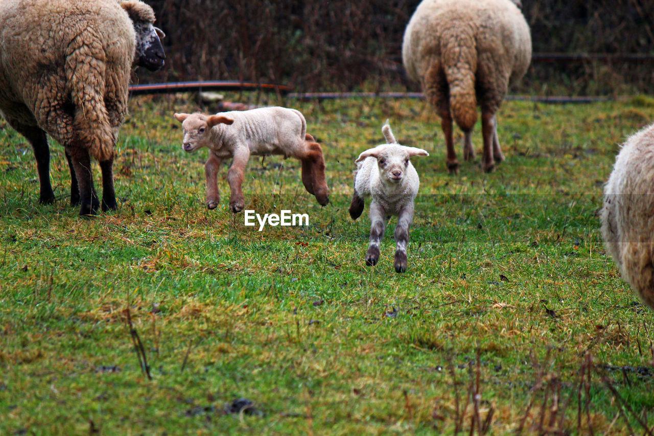 Lambs running on field