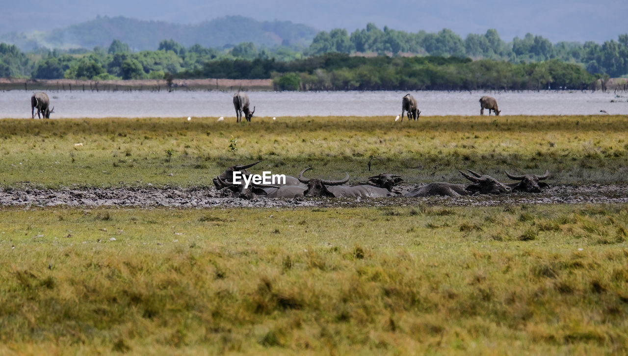 VIEW OF HORSES ON LAND