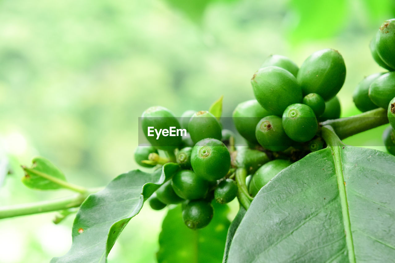 green color, plant part, leaf, growth, fruit, plant, freshness, healthy eating, close-up, food and drink, food, no people, day, focus on foreground, nature, beauty in nature, wellbeing, tree, selective focus, outdoors, ripe