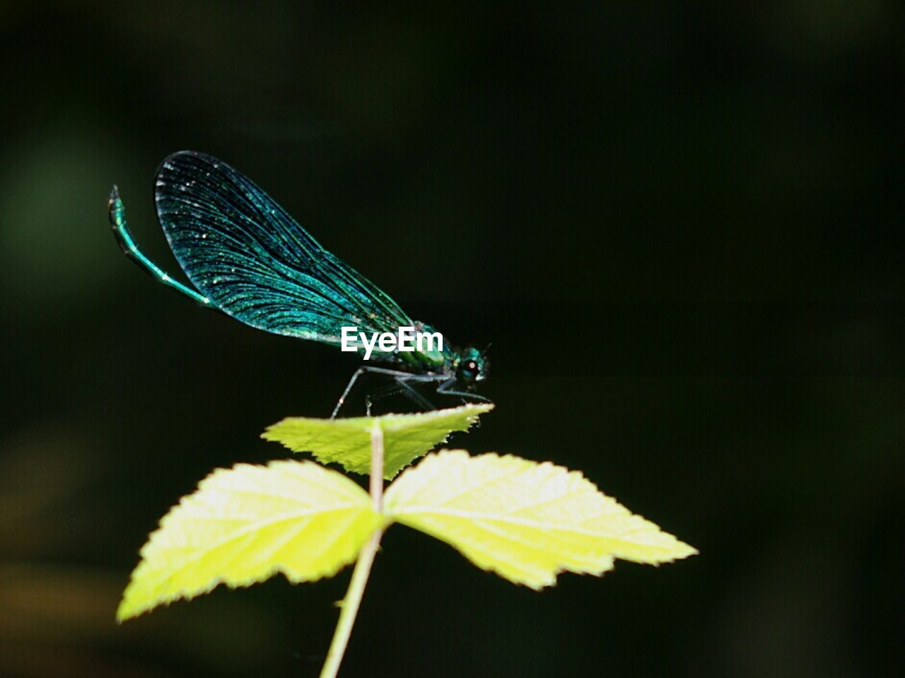 leaf, insect, animal themes, animals in the wild, damselfly, green color, one animal, focus on foreground, nature, no people, day, outdoors, close-up, animal wildlife