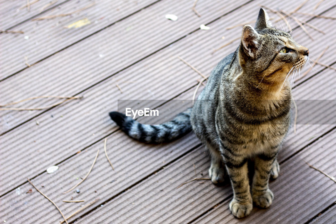 animal, animal themes, one animal, mammal, feline, cat, pets, domestic, domestic animals, domestic cat, vertebrate, no people, wood - material, high angle view, day, boardwalk, striped, full length, footpath, looking, tabby, whisker