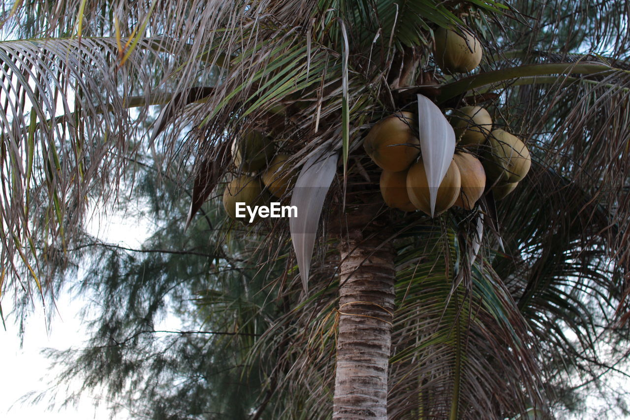 tree, plant, growth, palm tree, nature, tree trunk, trunk, low angle view, no people, tropical climate, beauty in nature, branch, day, leaf, close-up, outdoors, plant part, freshness, coconut palm tree, fruit, palm leaf