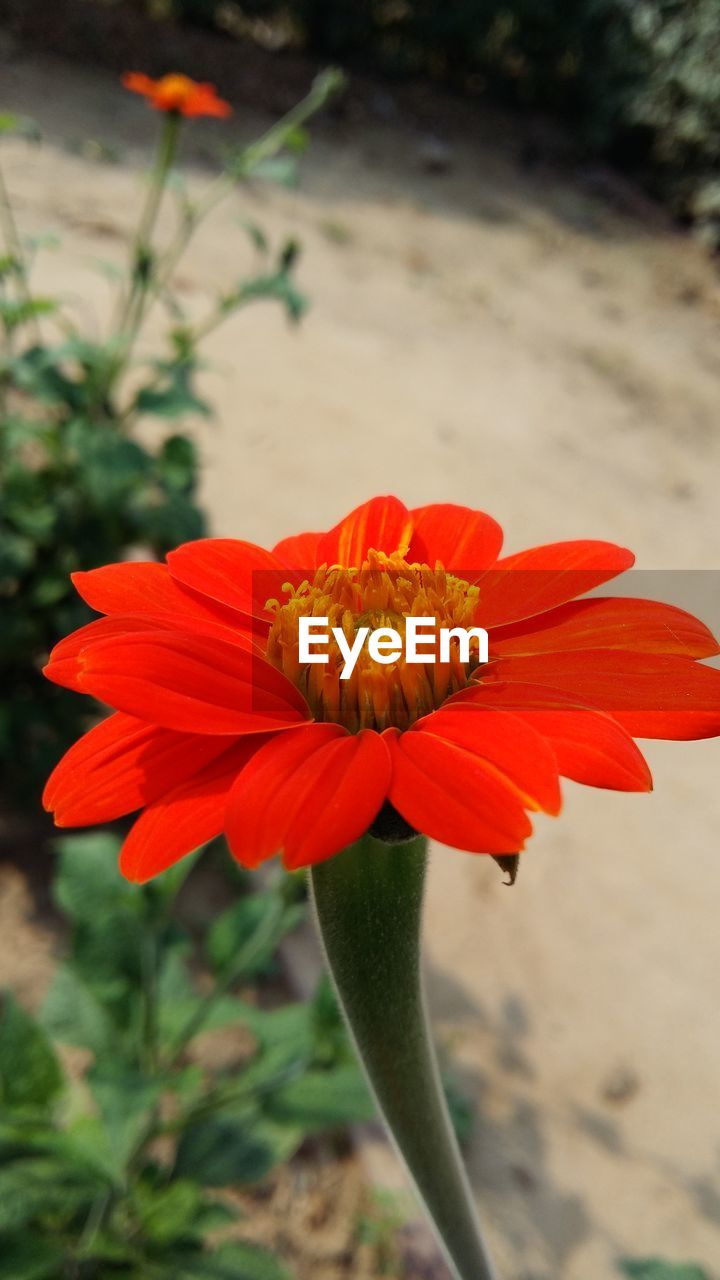 flower, petal, beauty in nature, fragility, nature, flower head, freshness, growth, plant, blooming, pollen, focus on foreground, outdoors, no people, day, close-up, red, zinnia