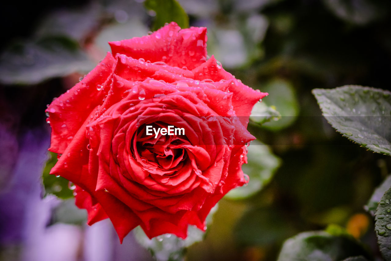 flower, rose - flower, nature, red, petal, fragility, beauty in nature, growth, flower head, freshness, close-up, focus on foreground, no people, plant, outdoors, day, blooming, water