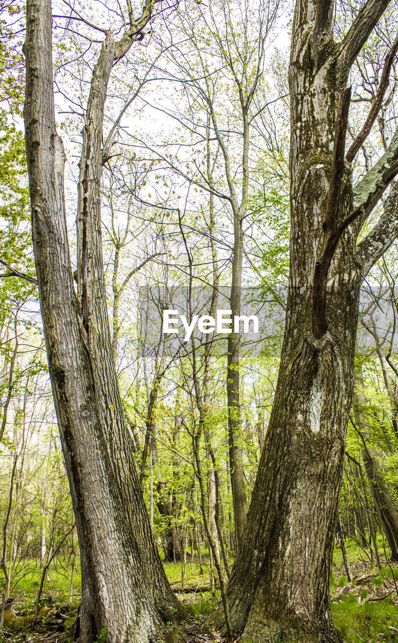 tree, tree trunk, plant, trunk, land, forest, tranquility, nature, day, growth, woodland, no people, branch, beauty in nature, outdoors, tranquil scene, non-urban scene, scenics - nature, green color, landscape