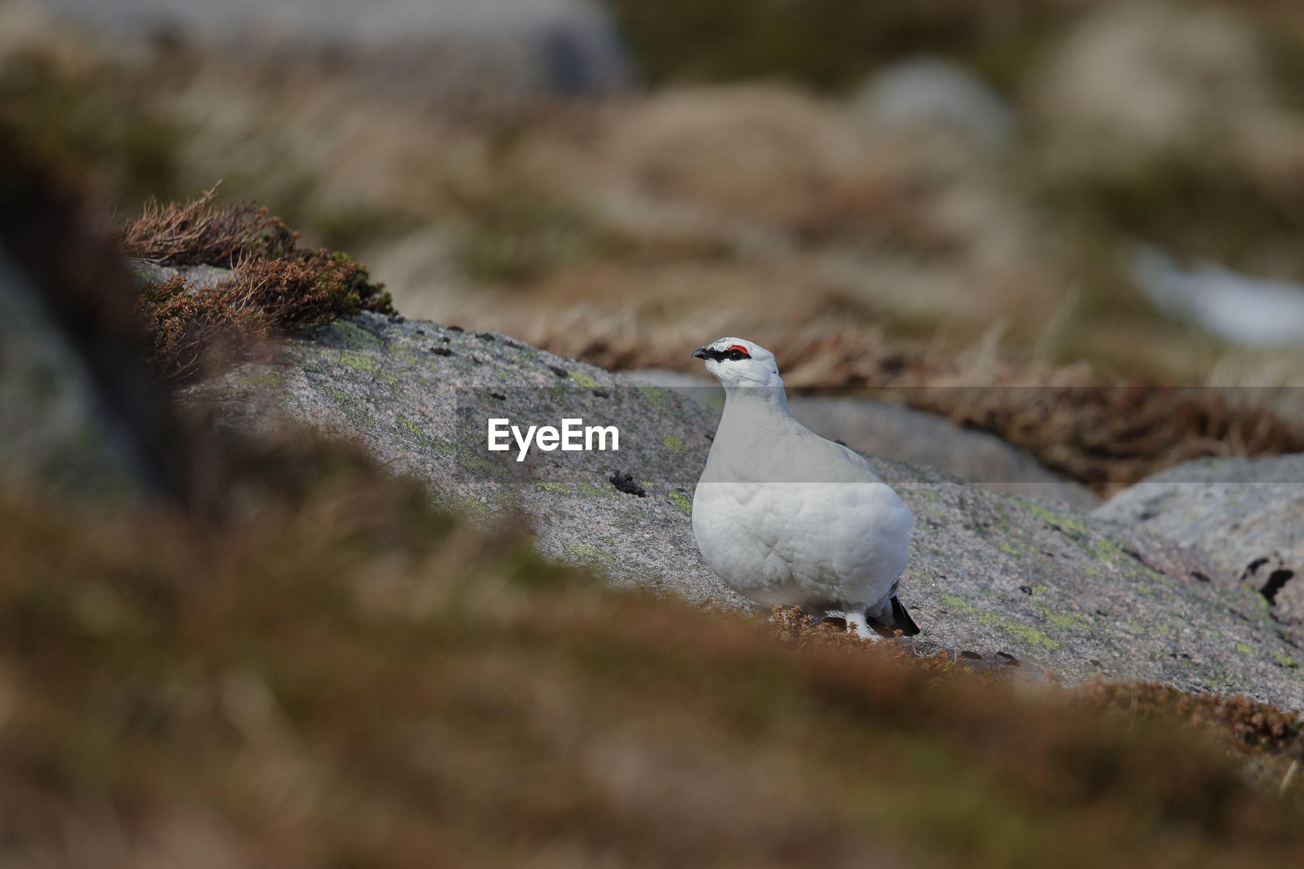 Close-up of ptarmigan perching on rock