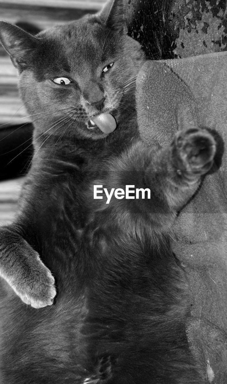 mammal, domestic, pets, cat, domestic animals, domestic cat, feline, vertebrate, one animal, no people, young animal, whisker, close-up, looking away, negative emotion, mouth open