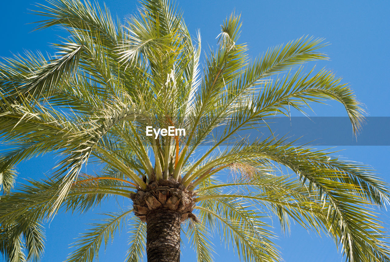 palm tree, tree, low angle view, blue, growth, sky, clear sky, nature, day, beauty in nature, outdoors, no people