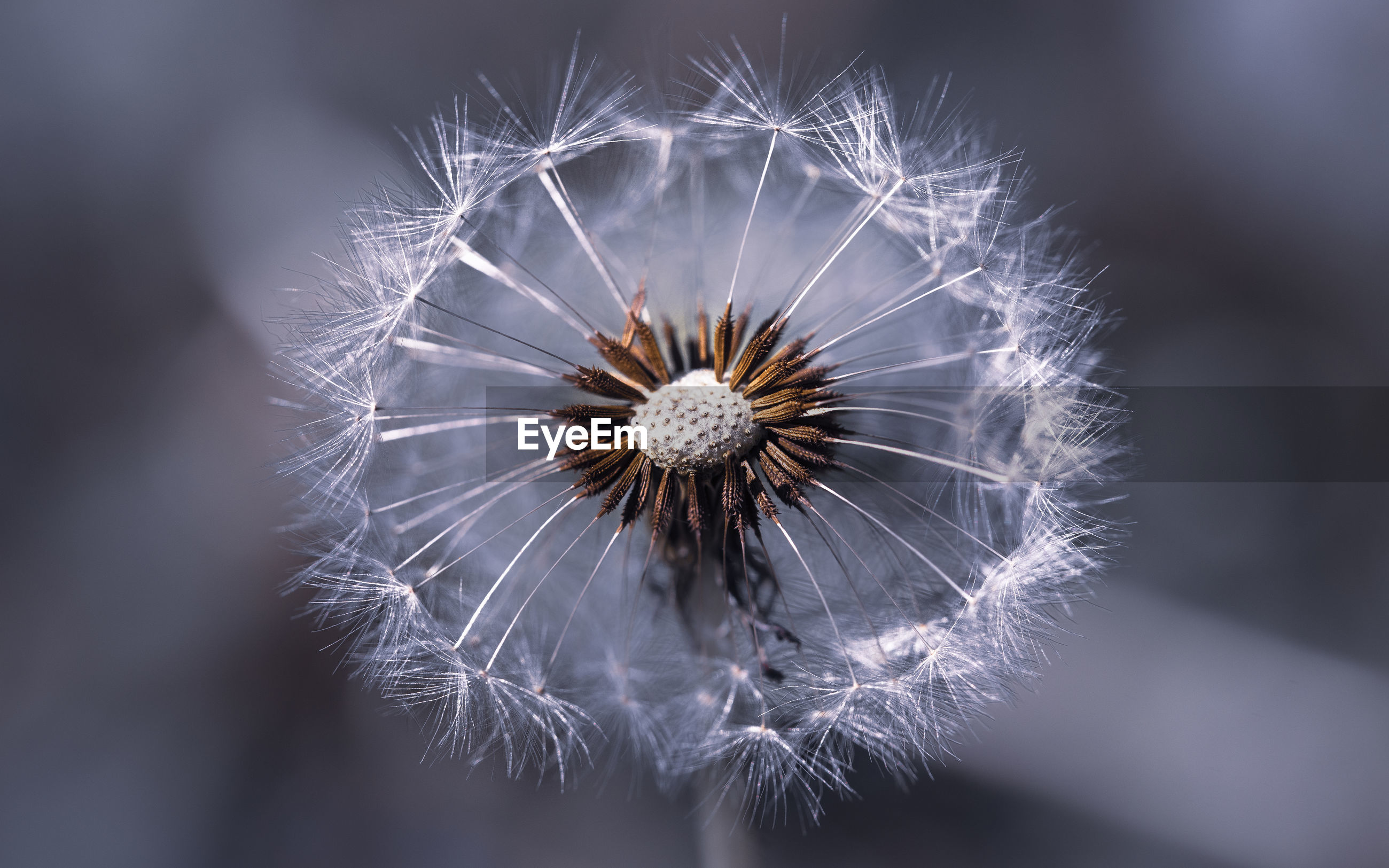 flower, flowering plant, fragility, vulnerability, dandelion, freshness, close-up, plant, beauty in nature, inflorescence, flower head, dandelion seed, focus on foreground, selective focus, softness, nature, no people, growth, day, outdoors