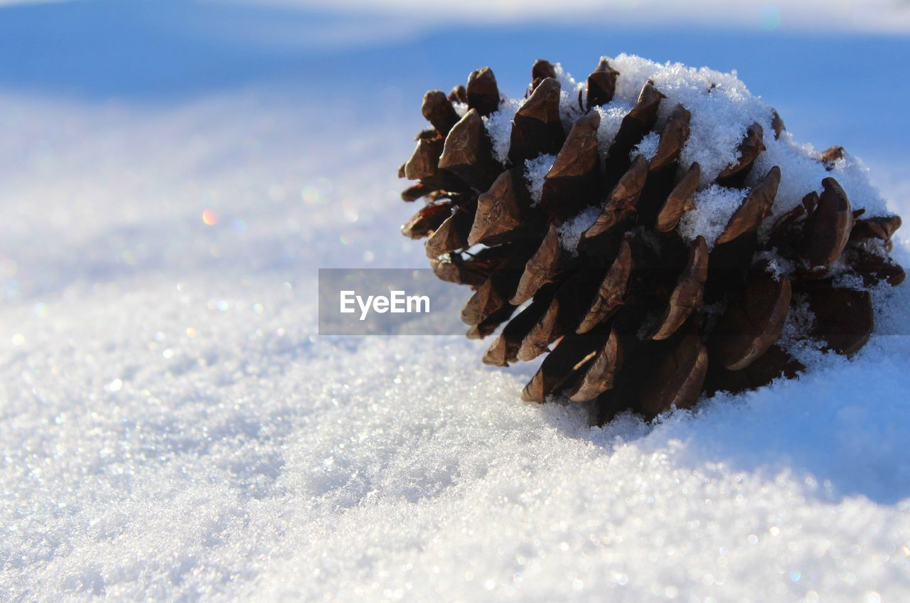 winter, snow, cold temperature, nature, day, land, close-up, sunlight, no people, beauty in nature, field, pine cone, white color, frozen, covering, outdoors, tranquility, focus on foreground, selective focus, coniferous tree