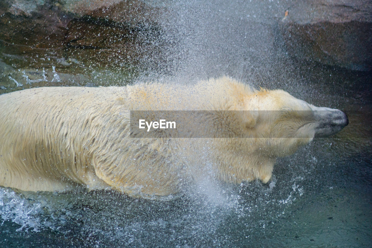 water, splashing, one animal, day, wet, no people, outdoors, animal themes, mammal, motion, nature, close-up