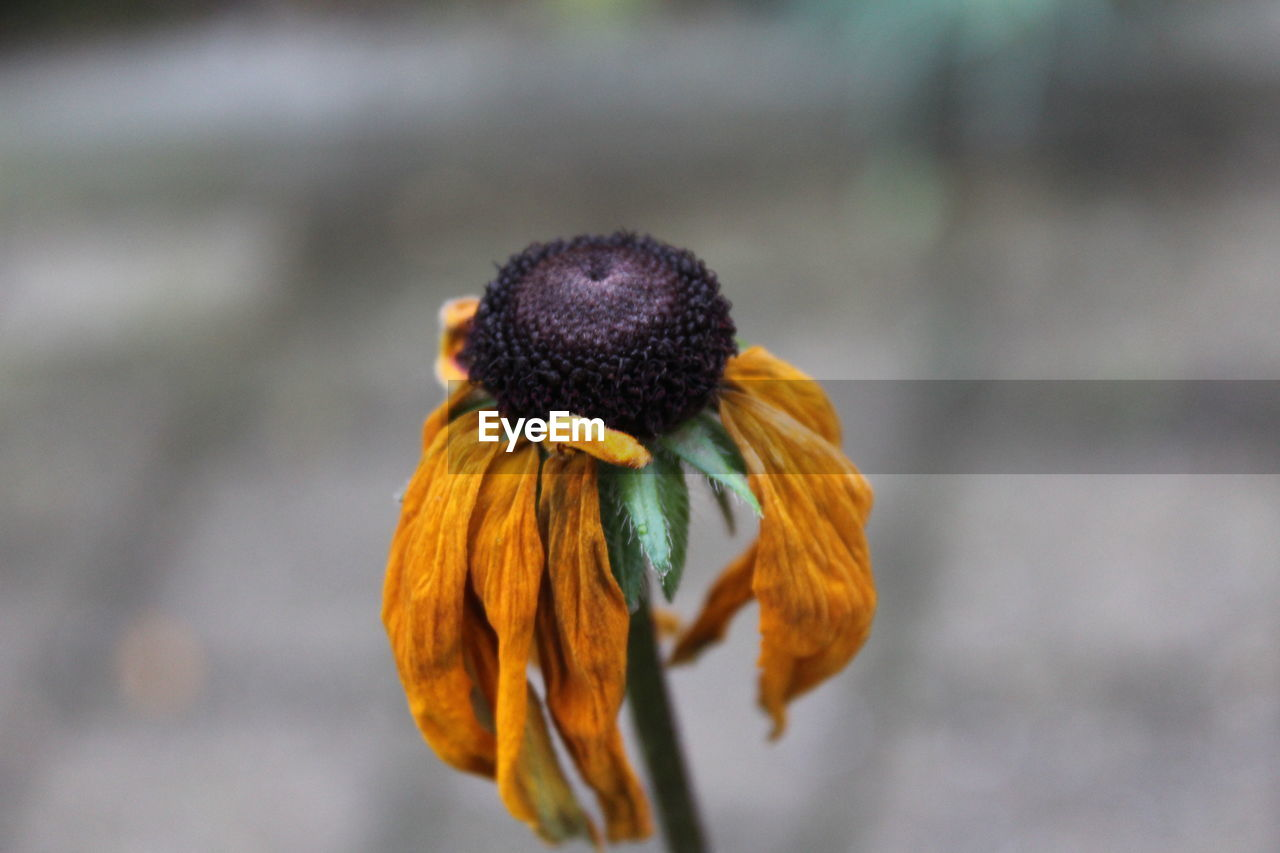 flower, fragility, petal, focus on foreground, plant, nature, flower head, beauty in nature, close-up, growth, freshness, no people, day, outdoors, wilted plant, blooming, animal themes