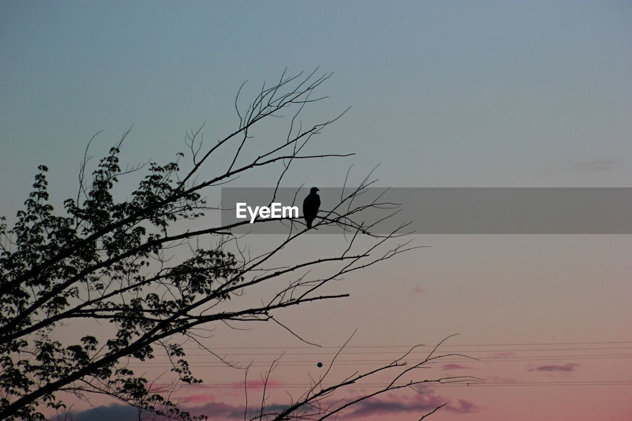 bird, animals in the wild, one animal, animal themes, silhouette, nature, animal wildlife, perching, sunset, low angle view, outdoors, beauty in nature, clear sky, no people, sky, branch, tree, day