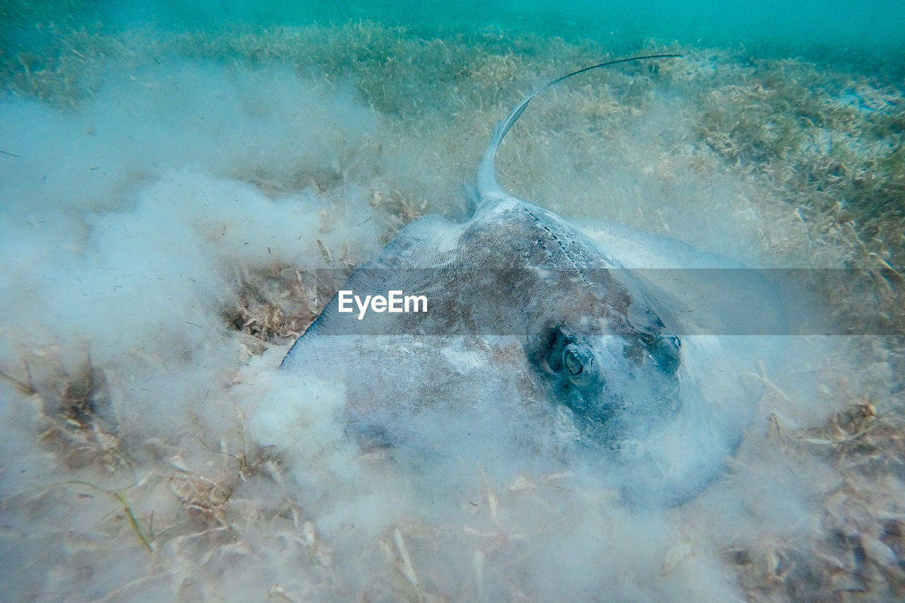 Close-up of stingray on golden grass