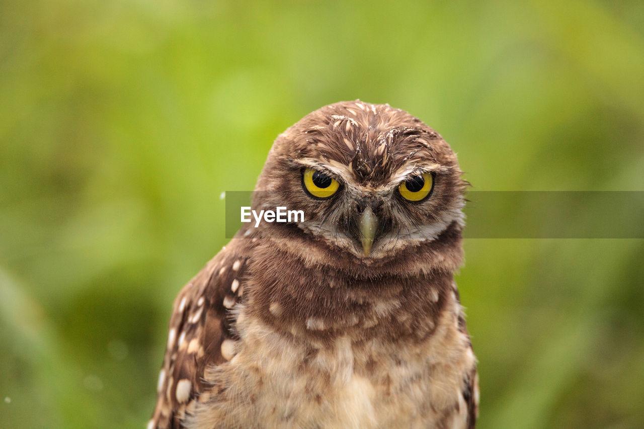 Burrowing Owl Perching On Field