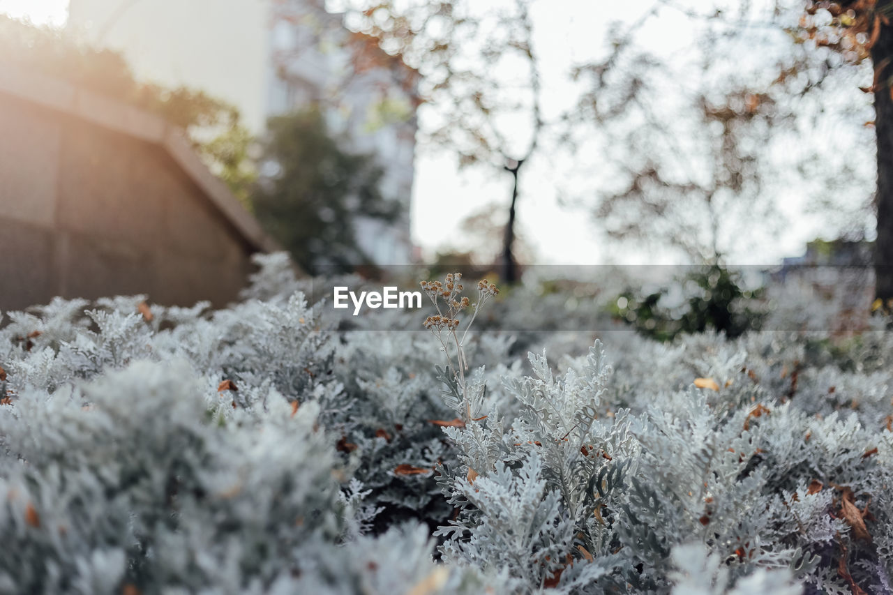 plant, cold temperature, winter, snow, tree, nature, day, no people, selective focus, frozen, beauty in nature, covering, close-up, growth, white color, outdoors, tranquility, focus on foreground, land