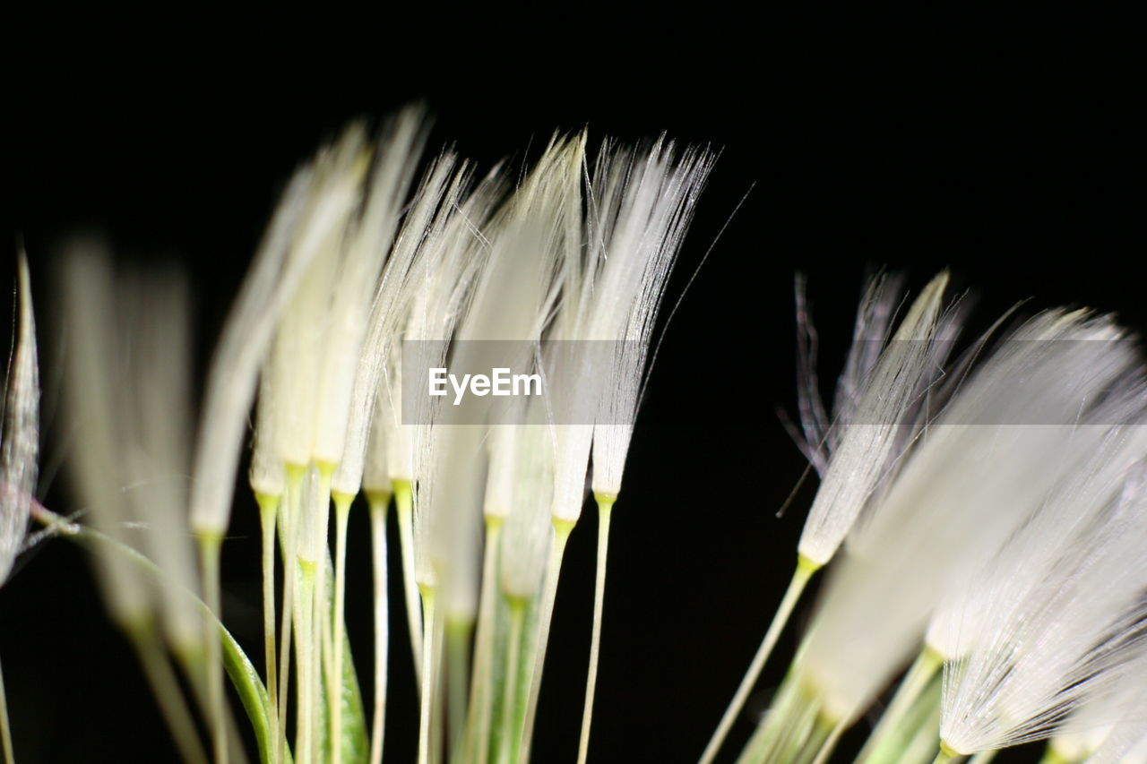 white color, close-up, growth, no people, fragility, flower, flower head, beauty in nature, nature, day, black background, outdoors