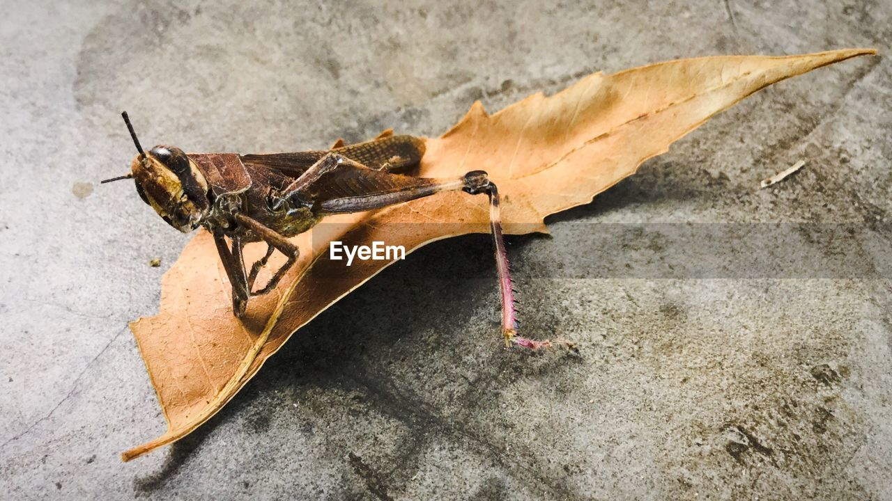 Close-up of grasshopper on dry leaf