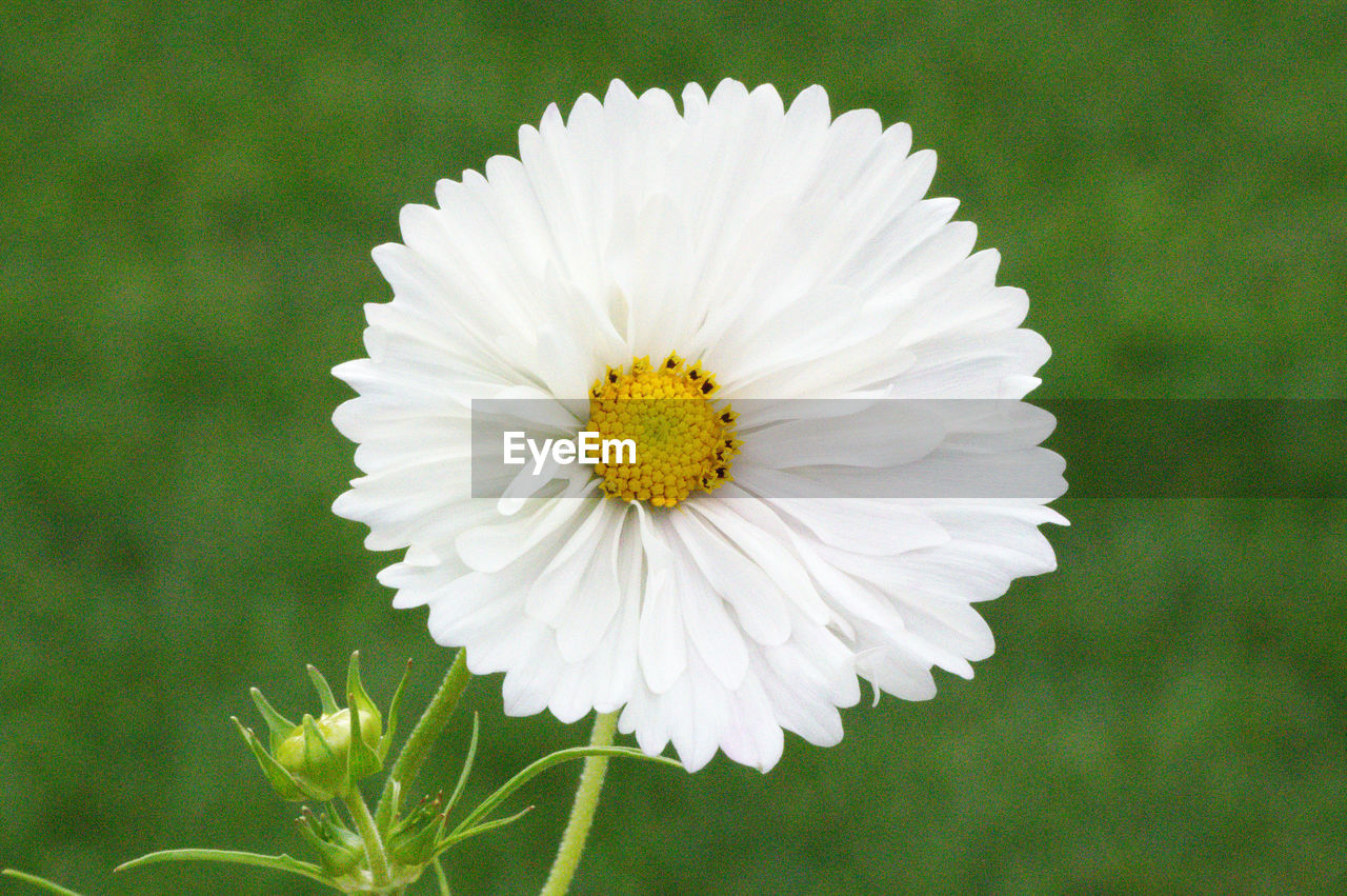 flower, flowering plant, vulnerability, petal, fragility, freshness, flower head, plant, inflorescence, beauty in nature, growth, close-up, daisy, white color, focus on foreground, pollen, nature, no people, day, outdoors