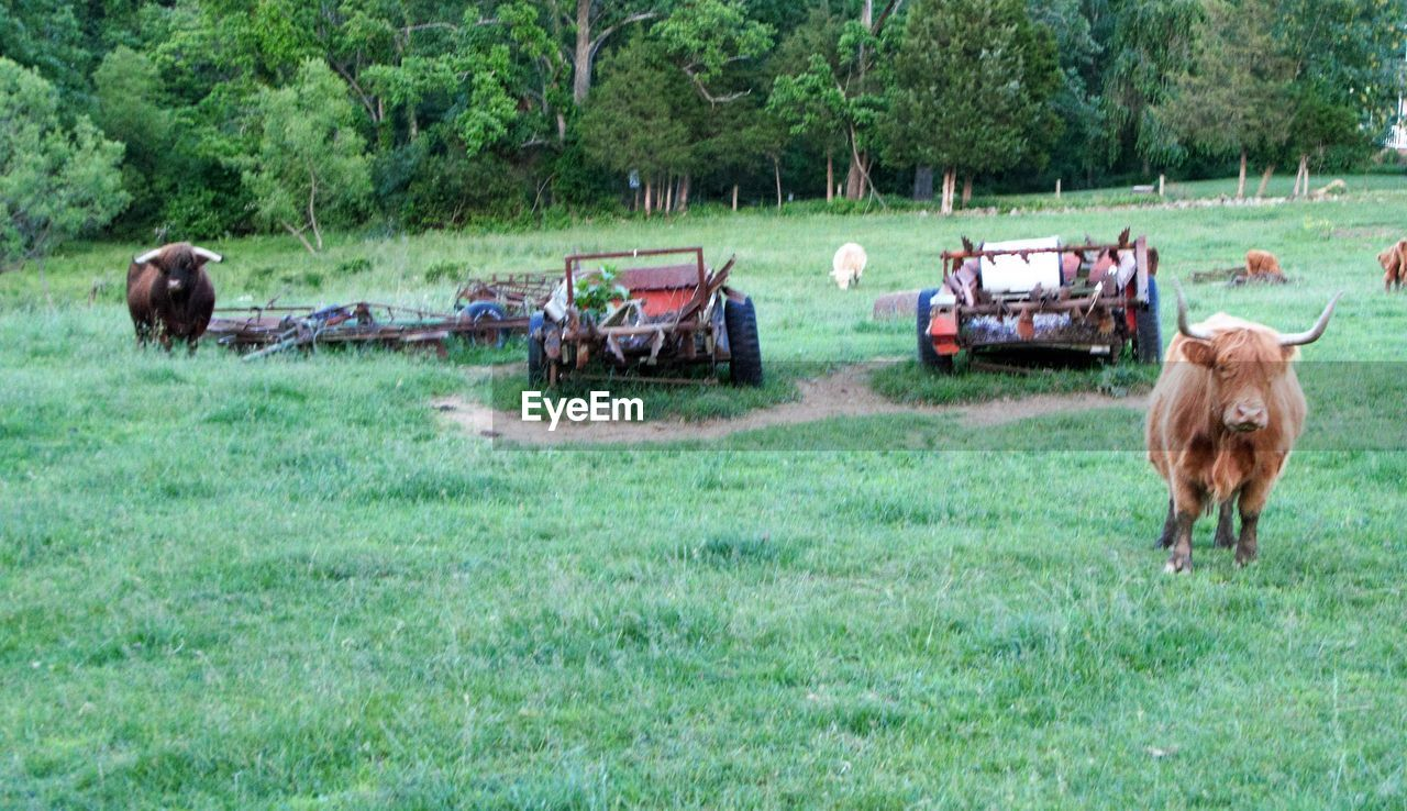 field, agriculture, animal themes, farm, grass, rural scene, livestock, cow, domestic animals, mammal, day, nature, outdoors, tree, no people