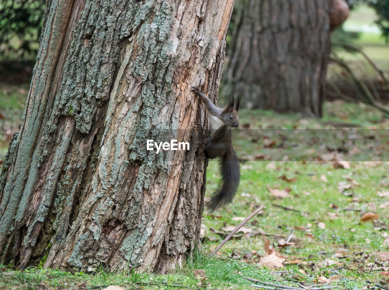 one animal, tree trunk, tree, animal themes, animals in the wild, squirrel, nature, mammal, no people, animal wildlife, day, outdoors, close-up