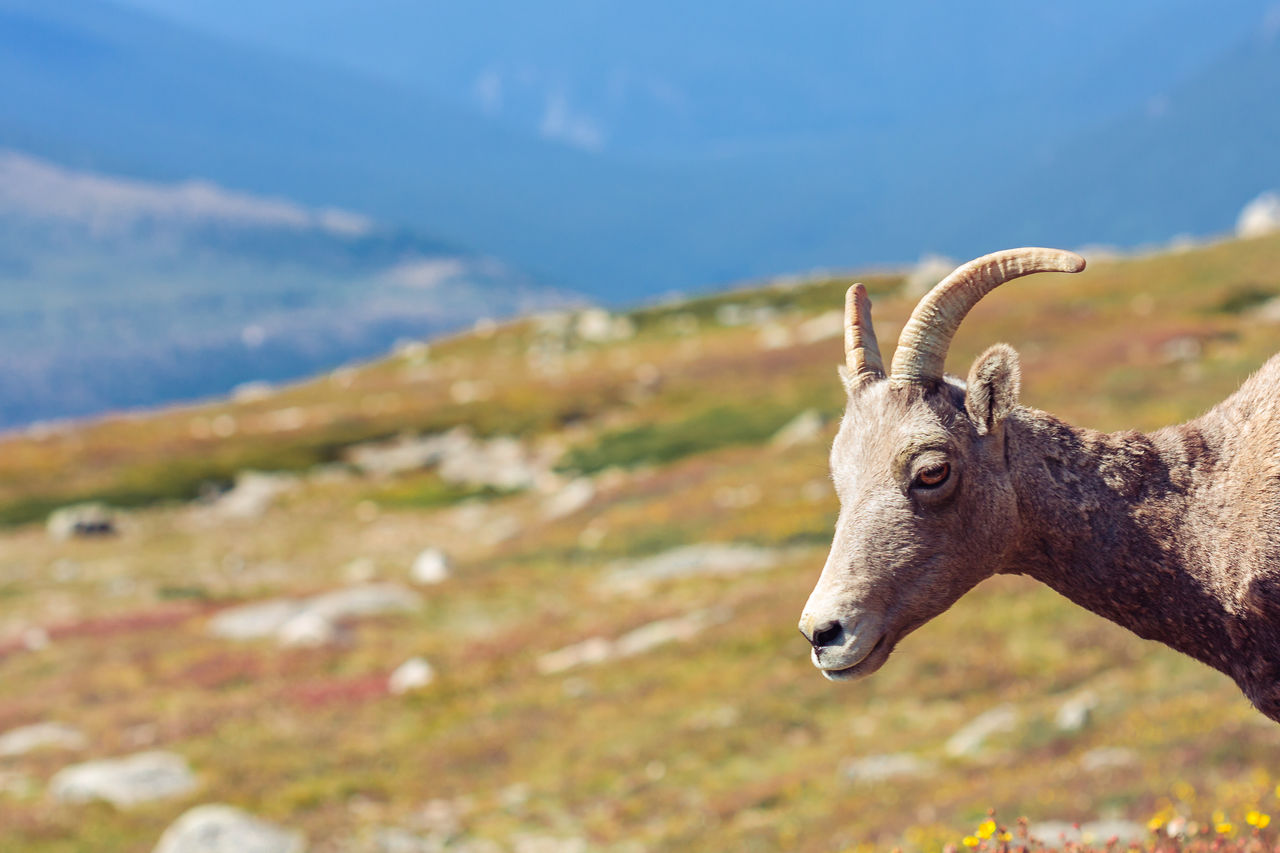 Close-Up Of Goat On Mountain