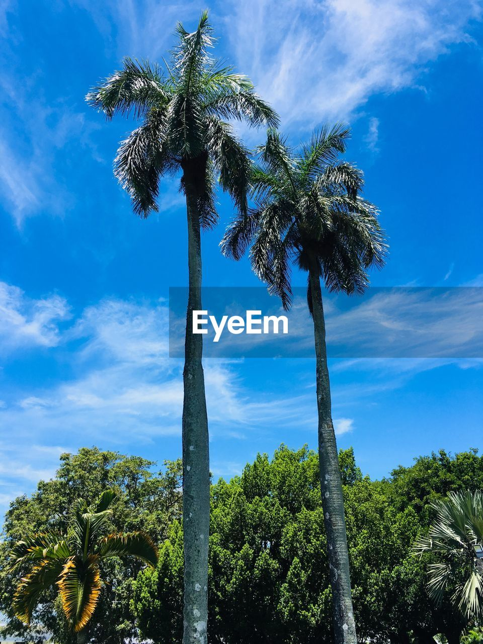 plant, tree, sky, tropical climate, cloud - sky, growth, palm tree, beauty in nature, low angle view, nature, green color, tree trunk, trunk, no people, tall - high, day, sunlight, tranquility, blue, outdoors, coconut palm tree, tropical tree